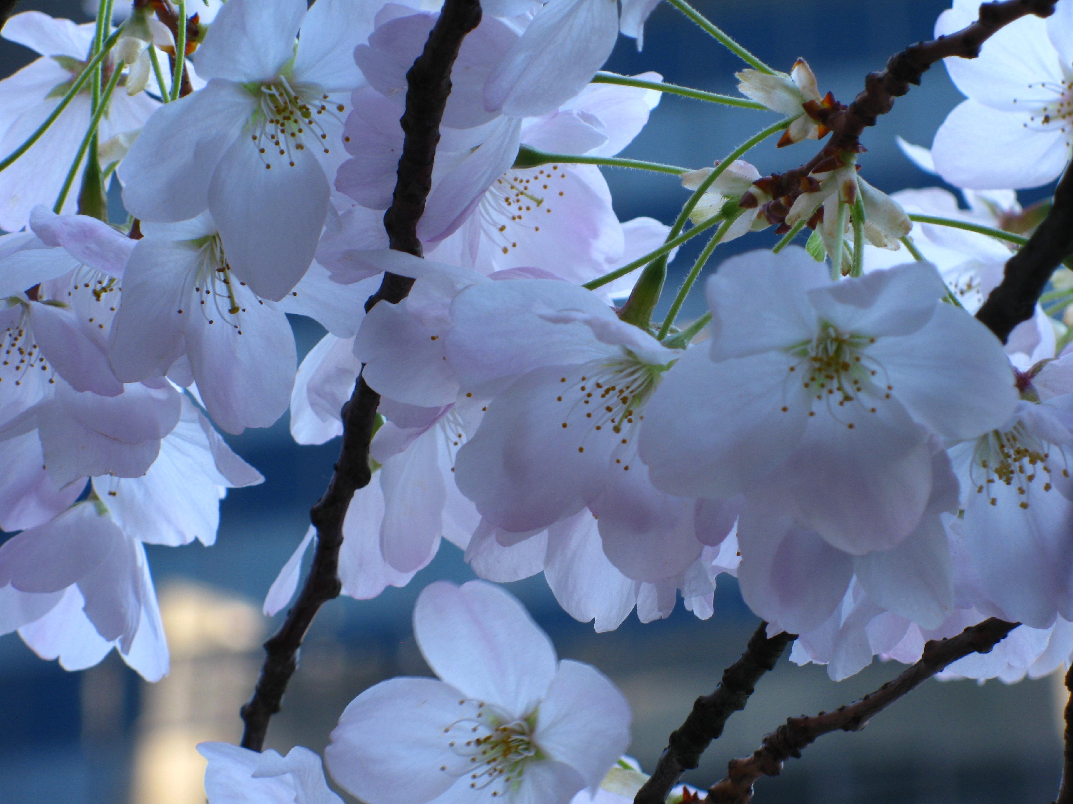 Yoshino sakura at Burrard SkyTrain