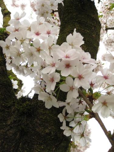 Sakura blossoms in Abbotsford, BC