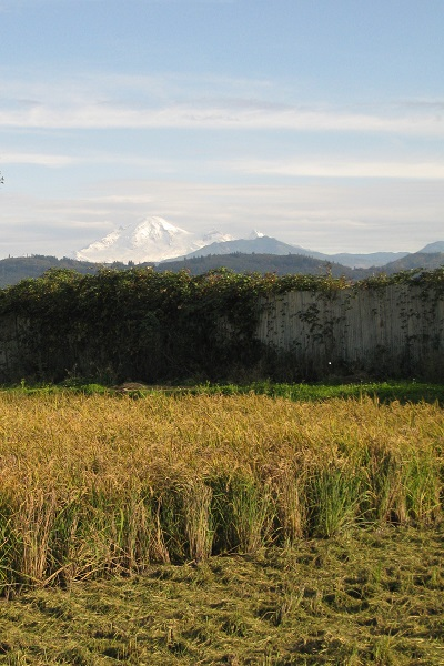 Mt. Baker Presiding over Abbotsford Sakamai Harvest