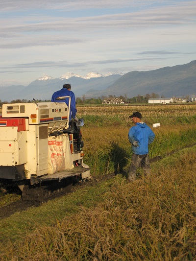 Rice-harvesting Combine at Work in Abbotsford