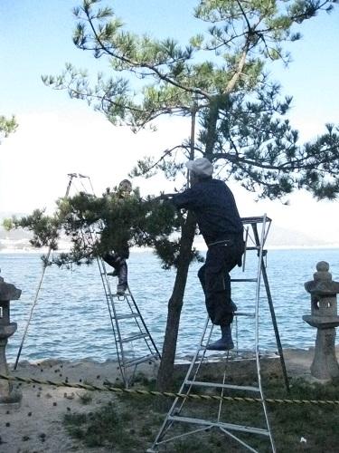 Pruning a Miyajima pine