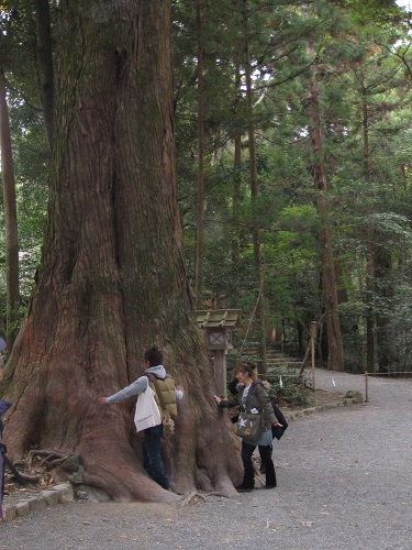 Giant trees at Ise Jingu