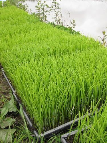 Flats of sake rice seedlings