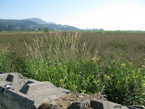 Abbotsford Rice Field Overtaken by Weeds