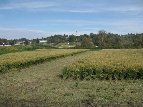 Abbotsford Rice Field Harvest Halted