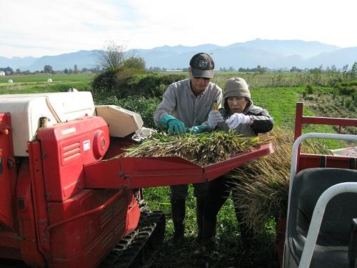Masa & Yukiko Threshing the Grain