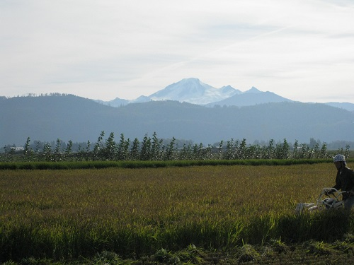Mt. Baker Presiding Over the Rice Harvest