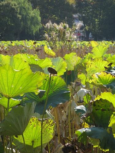 Lotus in Shinobazu Pond, Ueno