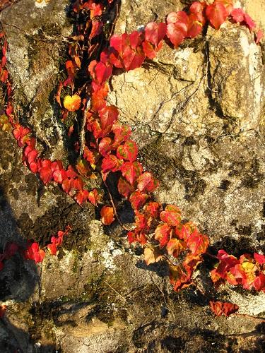 A vine on a wall